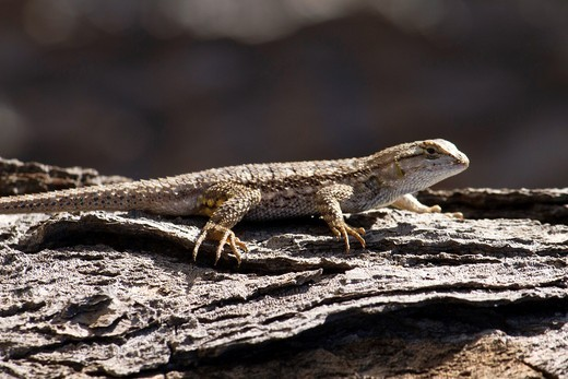 A Spiny Lizard Phrynosomatidae crawls along a piece of tree bark in Balboa Park, San Diego, California : Stock Photo