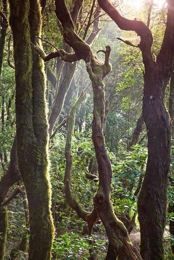 Stock Photo: 1566-784791 Canary Islands, La Gomera, Garajonay National Park UNESCO Site, Laurel pre-glacial Forest