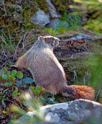 Stock Photo: 1566-785806 A small marmot wonders around the small flora covered hill