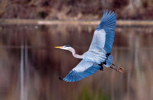 A blue heron spreads its wings wide while flying low to the ground : Stock Photo