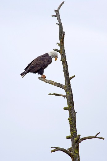 Stock Photo: 1566-785883 Bald eagle perched on a barren, lifeless tree