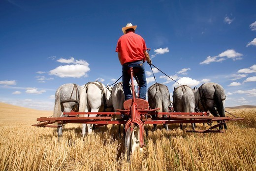 Unidentified farmer harvests wheat using an old combine on September 6, 2010 in Colfax  The threshing bee uses old machines and Draft horses and attracts crowds : Stock Photo