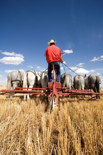 A team of mules being driven in a wheat field : Stock Photo
