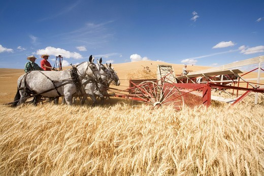 Unidentified farmer harvests wheat using an old combine on September in Colfax The threshing bee uses old machines and Draft horses and attracts crowds : Stock Photo