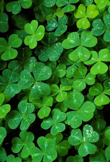Spring growth of wood sorrel Oxalis oregana after a rain, Redwood National Park, California, USA : Stock Photo