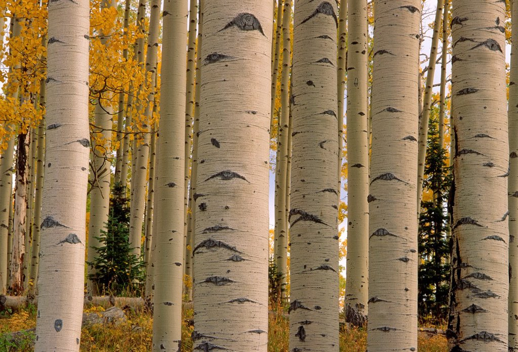 Patterned trunks of quaking aspen Populus tremuloides in fall, Uncompahgre National Forest, Colorado, USA : Stock Photo