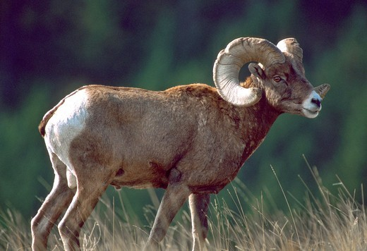 Stock Photo: 1566-786769 BIGHORN SHEEP Ovis canadensis, ram male in autumn, National Bison Range , southwest Montana, USA
