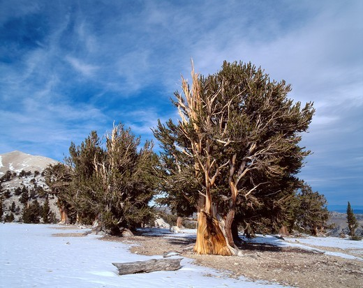 Grove of old bristlecone pines Pinus longaeva, Patriarch Grove, Ancient Bristlecone Pine Forest Area, Inyo National Forest, California, USA : Stock Photo