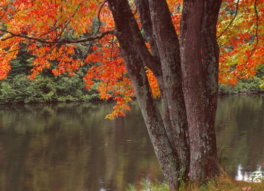 Fall-colored sugar maple overhanging the Androscoggin River, White Mountains, New Hampshire, USA : Stock Photo