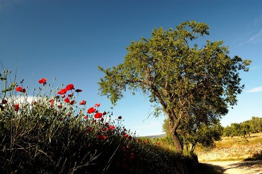 tree and poppyfield : Stock Photo