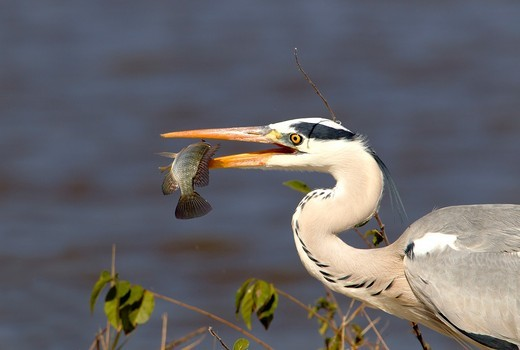 Stock Photo: 1566-789423 Grey Heron Ardea cinerea, fishing, Kruger National Park, South Africa