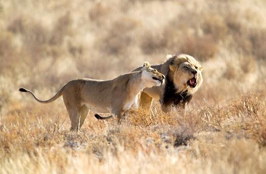 African Lion Panthera leo - Male and Female, Kgalagadi Transfrontier Park, Kalahari desert, South Africa : Stock Photo