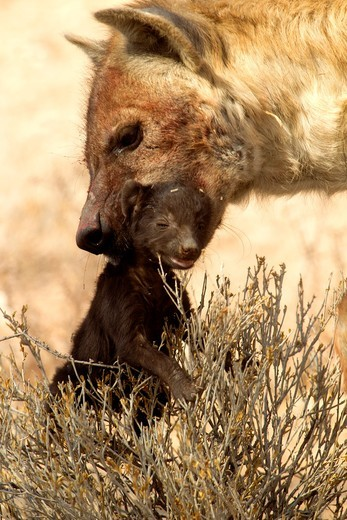 Spotted hyaena Crocuta crocuta, carrying the baby with its mouth, Kgalagadi Transfrontier Park, Kalahari desert, South Africa : Stock Photo