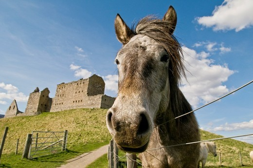 Closeup of horse with 18th century ruin of Ruthven Barracks in background, Scotland : Stock Photo
