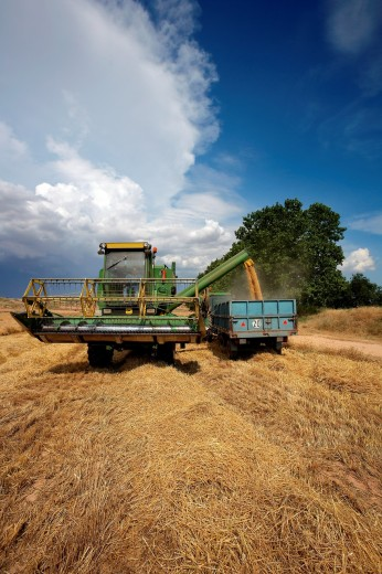 Reaping machine unloading wheat  LLeida  Spain : Stock Photo