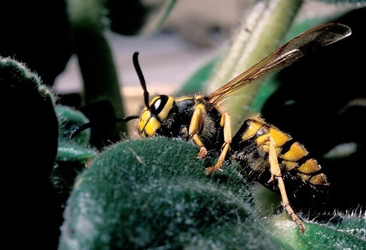 Close up of European wasp Vespula germanica searching among some plant life : Stock Photo