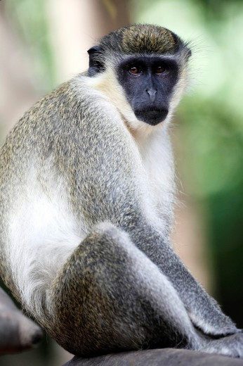 Green Monkey, Chlorocebus sabaeus, sitting on branch, The Gambia : Stock Photo