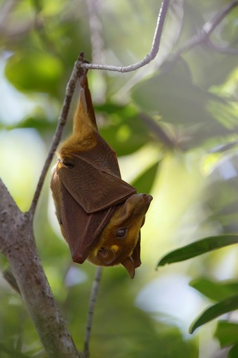 Stock Photo: 1566-797538 Gambian Epauletted Fruit Bat, Epomophorus gambianus, hanging in tree, The Gambia, Africa