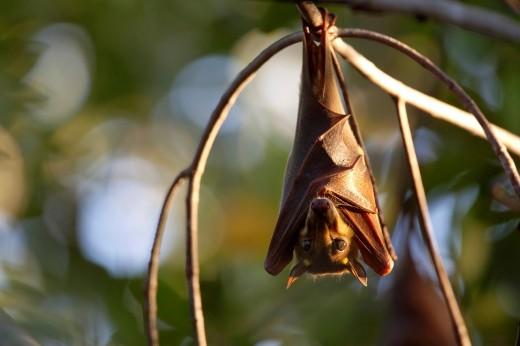 Gambian Epauletted Fruit Bat, Epomophorus gambianus, hanging in tree, The Gambia, Africa : Stock Photo