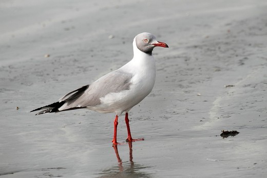 Grey-headed Gull Larus cirrocephalus, standing on beach, The Gambia, Africa : Stock Photo
