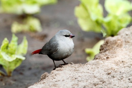 Stock Photo: 1566-797569 Lavender Waxbill Estrilda caerulescens, sitting on ground, The Gambia, Africa