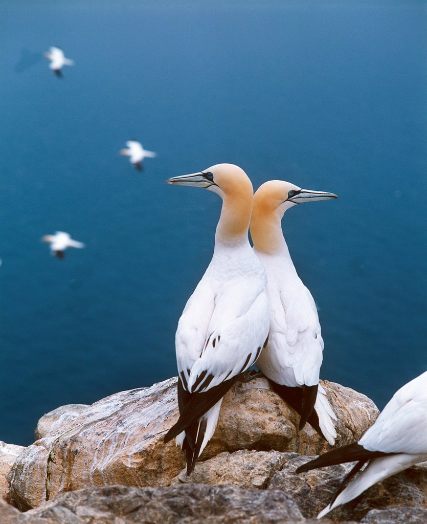 Northern Gannet, sula bassana, Pair standing on Rock, Bass Rock in Scotland : Stock Photo