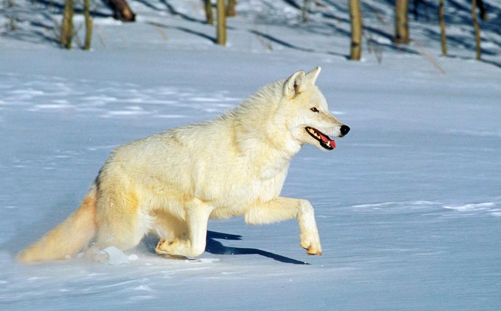 Arctic Wolf, canis lupus tundrarum, Adulte running on Snow, Canada : Stock Photo