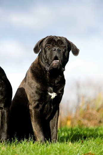 Cane Corso, Dog Breed from Italy, Adult Sitting on Grass : Stock Photo