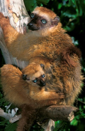Stock Photo: 1566-799958 Black Lemur, eulemur macaco, Female with Young standing on Branch