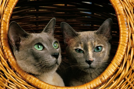 Stock Photo: 1566-800047 Tonkinese Domestic Cat, Adults standing in Basket