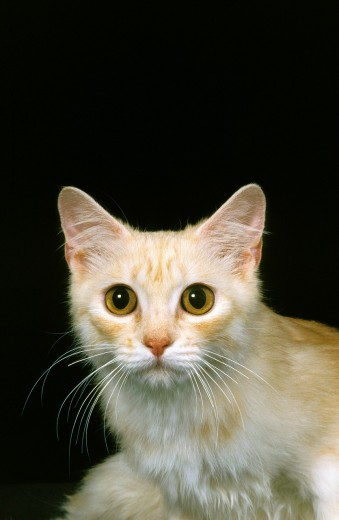 Stock Photo: 1566-800055 Cymric Cat, Portrait of Female against Black Background