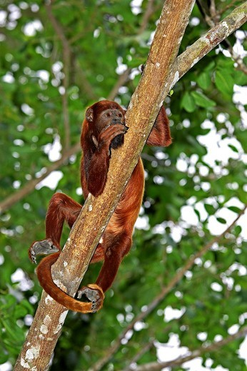 Stock Photo: 1566-800158 Red Howler Monkey, alouatta seniculus, Adult standing on Branch, Los Lianos in Venezuela
