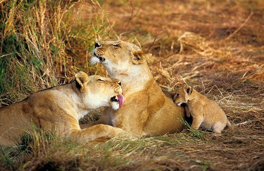 AFRICAN LION panthera leo, FEMALES GROOMING WITH CUB, KENYA : Stock Photo