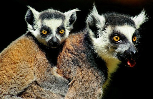 RING TAILED LEMUR lemur catta, FEMALE CARRYING YOUNG ON ITS BACK, MADAGASCAR : Stock Photo