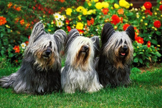 SKYE TERRIER, ADULTS SITTING WITH FLOWERS : Stock Photo