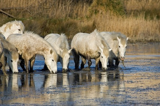 CAMARGUE HORSE, HERD DRINKING WATER, SAINTES MARIE DE LA MER IN THE SOUTH OF FRANCE : Stock Photo