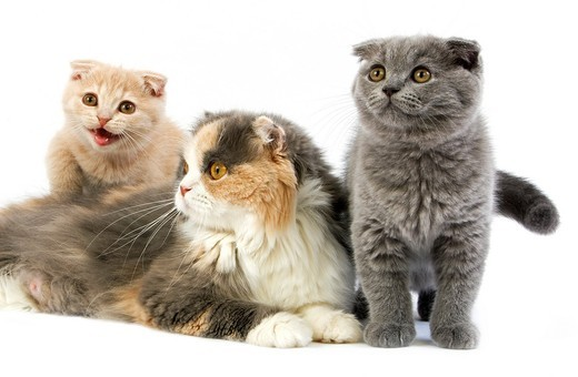 BLUE CREAM AND WHITE HIGHLAND FOLD FEMALE WITH ITS CREAM AND BLUE SCOTTISH FOLD KITTENS : Stock Photo