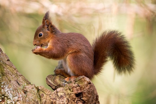Stock Photo: 1566-801080 RED SQUIRREL sciurus vulgaris, ADULT EATING HAZELNUT, NORMANDY IN FRANCE