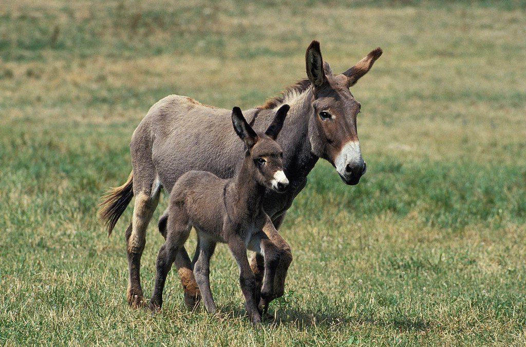 Stock Photo: 1566-801087 GREY DONKEY, A FRENCH BREED, MARE WITH FOAL TROTTING THROUGH MEADOW