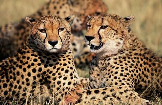 Stock Photo: 1566-801098 CHEETAH acinonyx jubatus, GROUP LAYING DOWN AFTER EATING GAZELLE, MASAI MARA PARK, KENYA