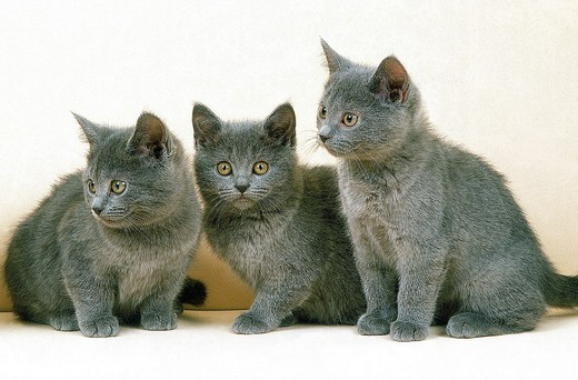 Stock Photo: 1566-801190 CHARTREUX CAT, KITTEN AGAINST WHITE BACKGROUND