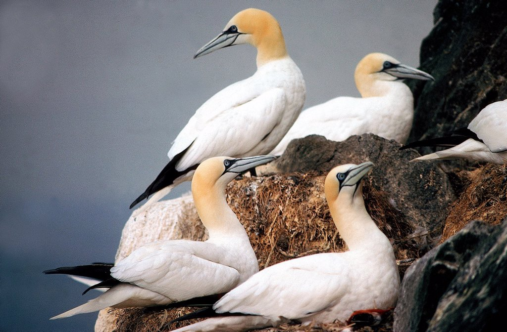 NORTHERN GANNET sula bassana, COLONY ON NEST, BASS ROCK IN SCOTLAND : Stock Photo