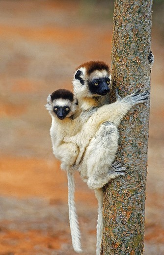 Stock Photo: 1566-801237 VERREAUX´S SIFAKA propithecus verreauxi, FEMALE CARRYING YOUNG ON ITS BACK, BERENTY RESERVE IN MADAGASCAR
