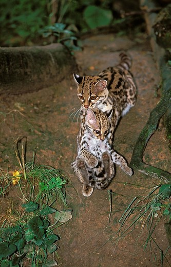 MARGAY CAT leopardus wiedi, FEMALE CARRYING CUB IN MOUTH : Stock Photo