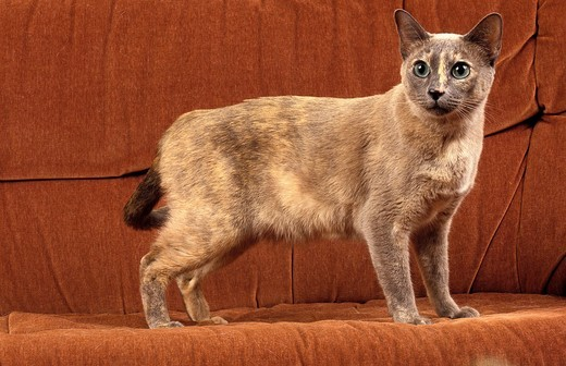 TONKINESE DOMESTIC CAT, ADULT : Stock Photo