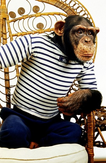 CHIMPANZEE pan troglodytes, TRAINED AND DISGUISED ANIMAL : Stock Photo