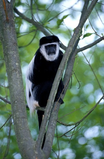 BLACK AND WHITE COLOMBUS MONKEY colobus guereza, ADULT STANDING ON BRANCH : Stock Photo