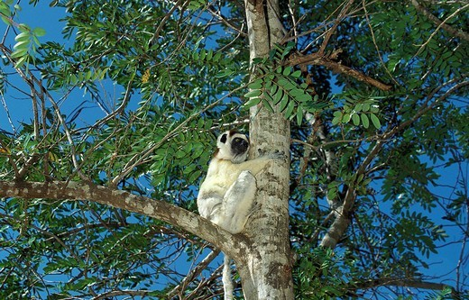 Stock Photo: 1566-801589 VERREAUX´S SIFAKA propithecus verreauxi, ADULT STANDING IN TREE, BERENT RESERVE IN MADAGASCAR