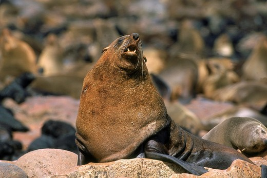 SOUTH AFRICAN FUR SEAL arctocephalus pusillus, MALE WARMING HIMSELF IN THE SUN, CAPE CROSS IN NAMIBIA : Stock Photo