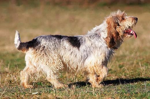 BASSET GRIFFON VENDEEN DOG, ADULT STANDING ON GRASS : Stock Photo